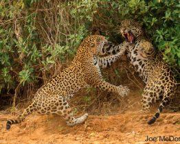 combat-de-jaguars-Faune-du-Pantanal-Brésilien
