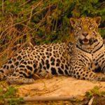 Circuit au Brésil - Jaguar du Pantanal brésilien